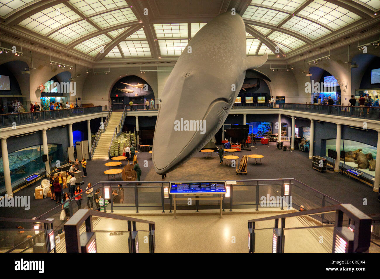 Blue Whale lifesize display in the Hall of Ocean Life, American Museum of Natural History, New York City - Stock Image