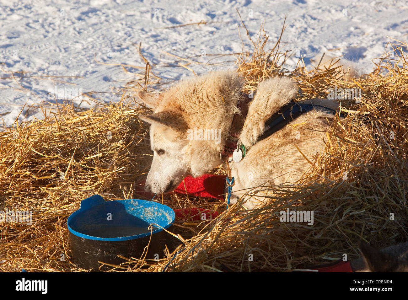 Sled dog looking at dog dish, wrist bandages, Alaskan Husky, straw, Pelly Crossing checkpoint, Yukon Quest 1, 000 - Stock Image