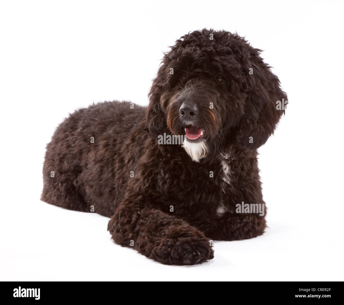 Cockerpoo male dog at 1 year old. Cross between a Cocker Spaniel and a Poodle. Stock Photo