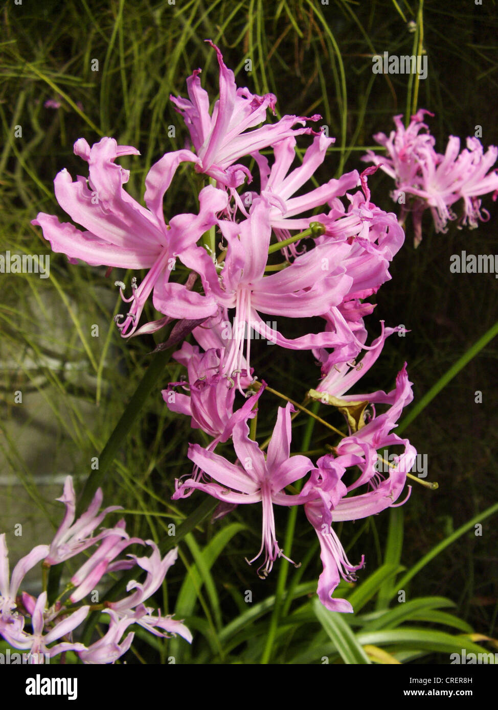 Guernsey lily (Nerine undulata), blooming - Stock Image