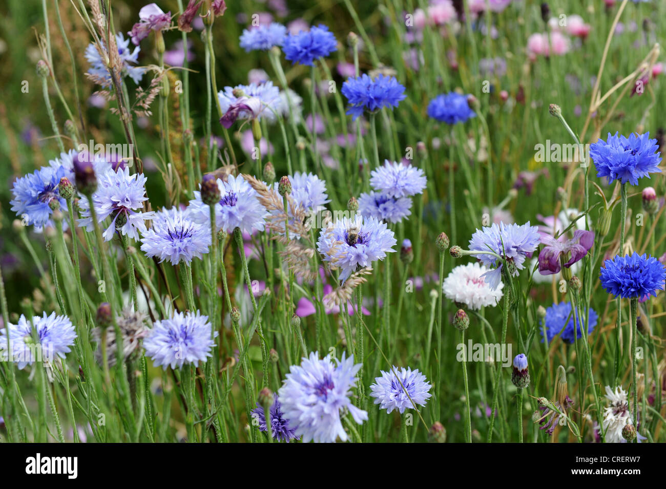 Cornflowers and other wild flowers Stock Photo