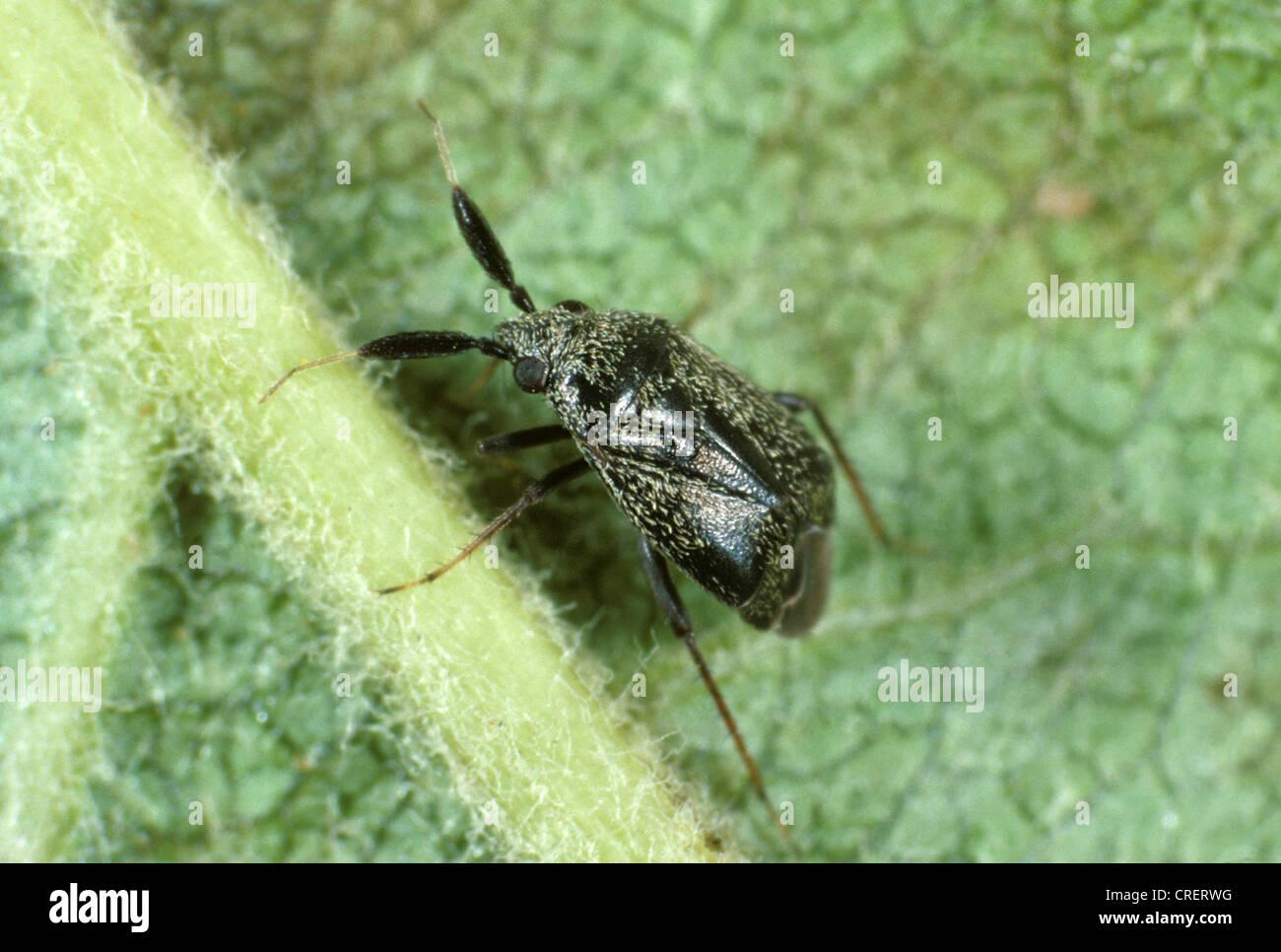 Black apple capsid (Atractotomus mali) pest predator on apple leaf - Stock Image