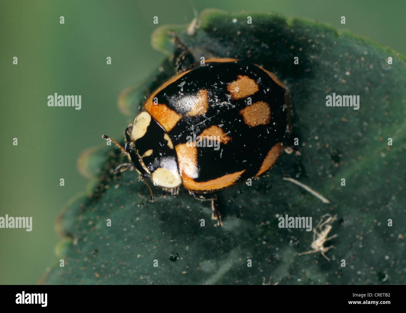A colour variant of the two-spot ladybird (Adalia bipunctata) - Stock Image