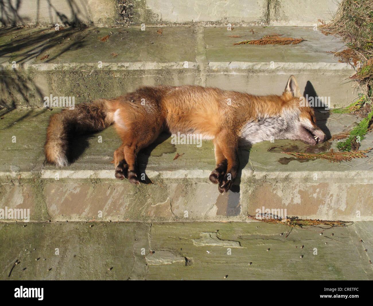 Dead Fox Uk Stock Photos & Dead Fox Uk Stock Images - Alamy