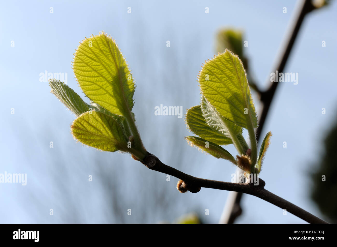 Young leaf growth on a kiwi vine back lit by spring sunshine - Stock Image