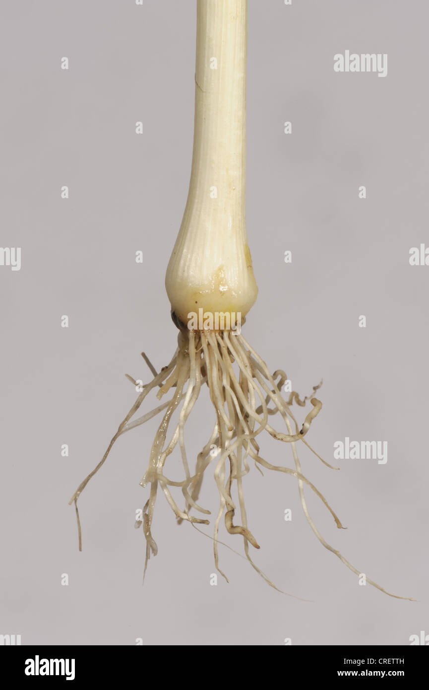 Bulb and roots of an uprooted crow garlic (Allium vineale) plant - Stock Image
