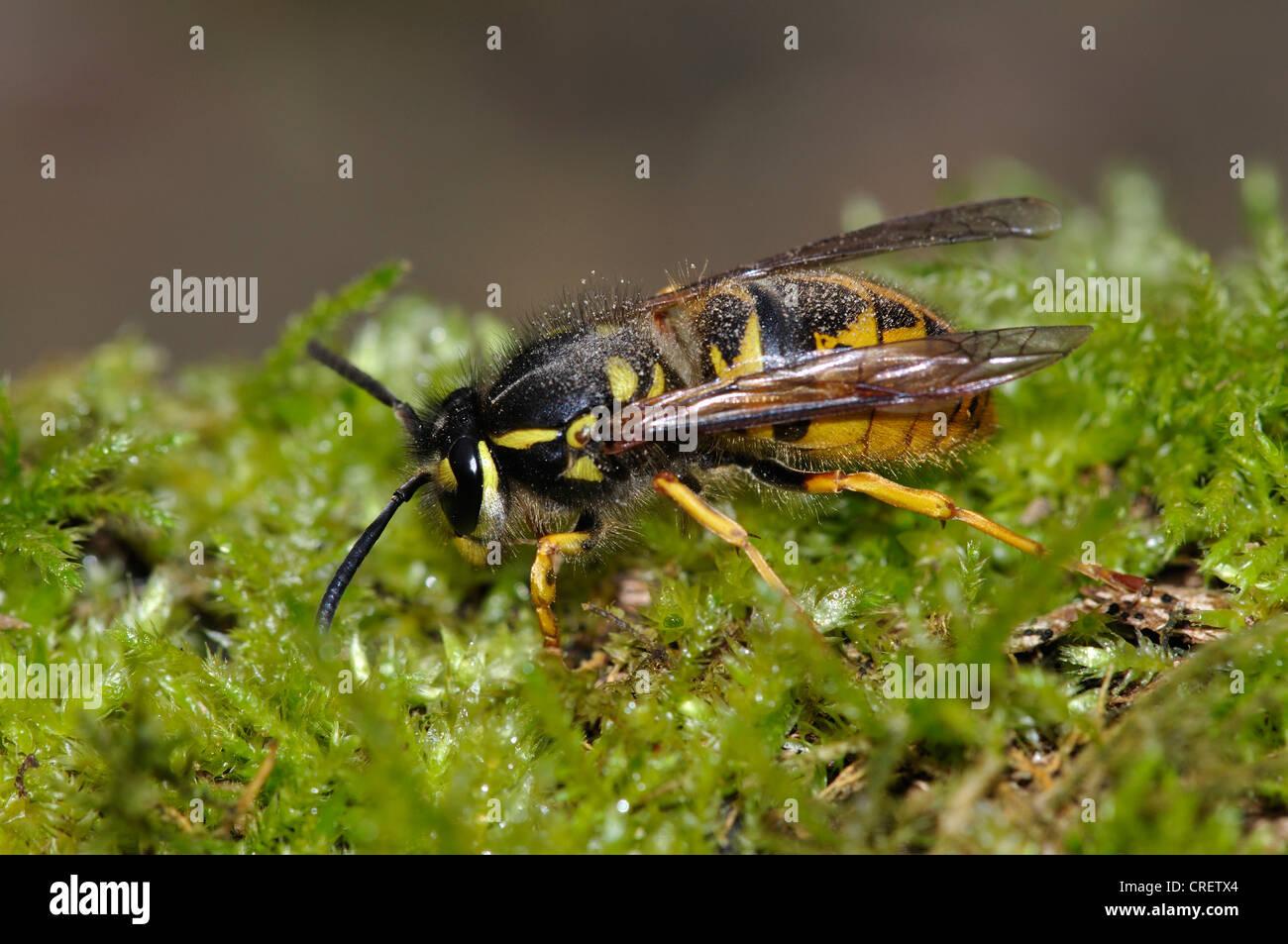 queen common wasp Vespidae vespula vulgaris social insect invertebrate - Stock Image