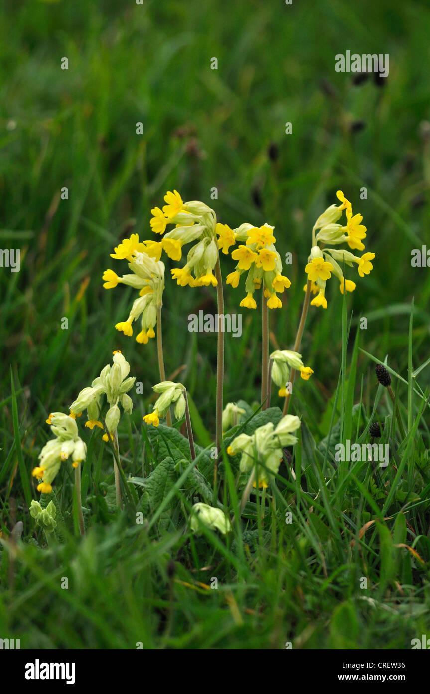 cowslip primula veris spring wild flower yellow Stock Photo