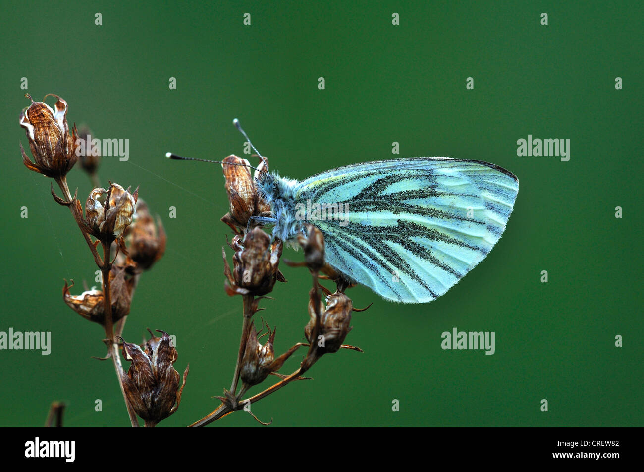 green-veined white butterfly insect invertebrate pieris napi - Stock Image