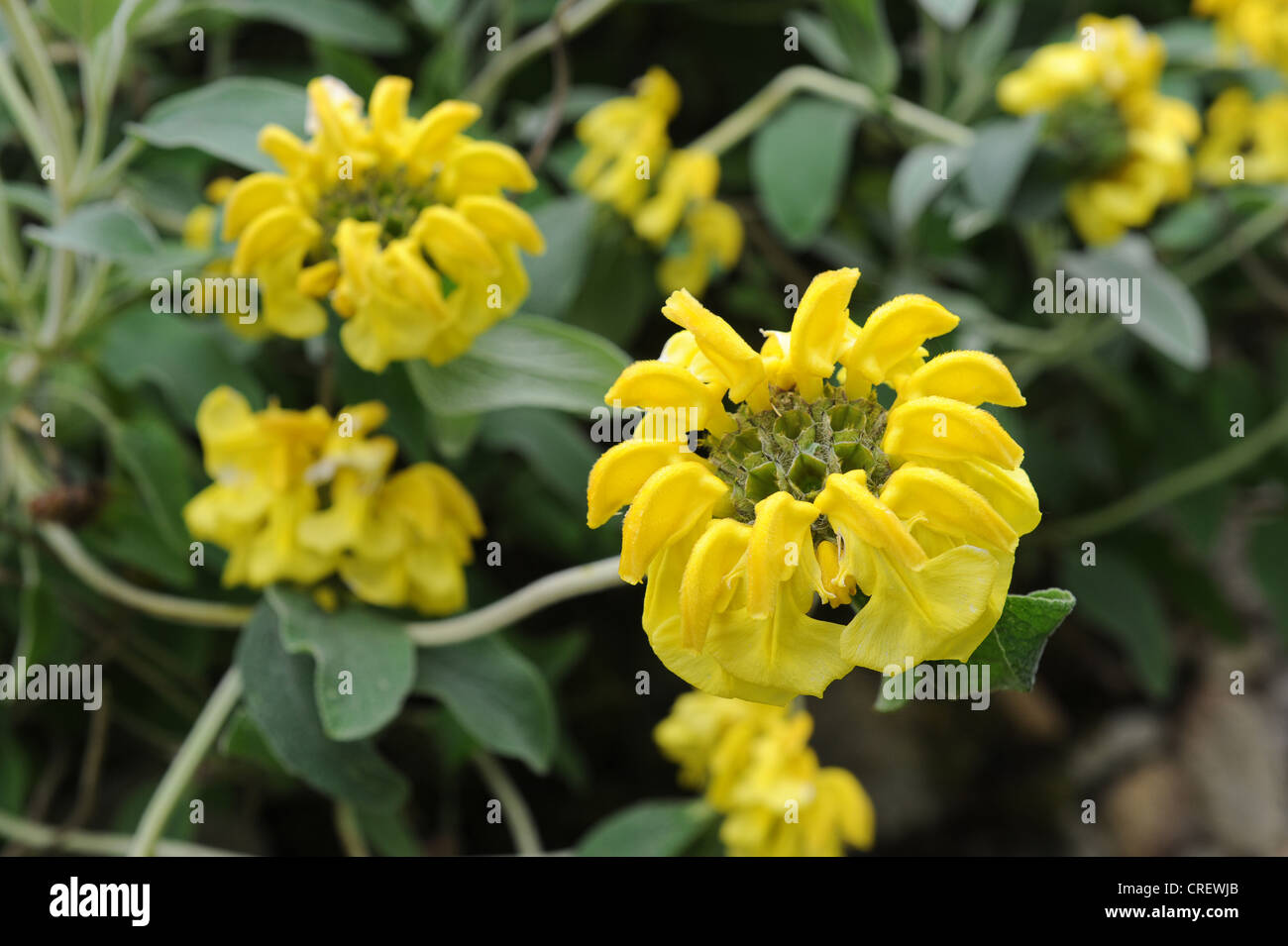 Yellow Sage Stock Photos Yellow Sage Stock Images Alamy