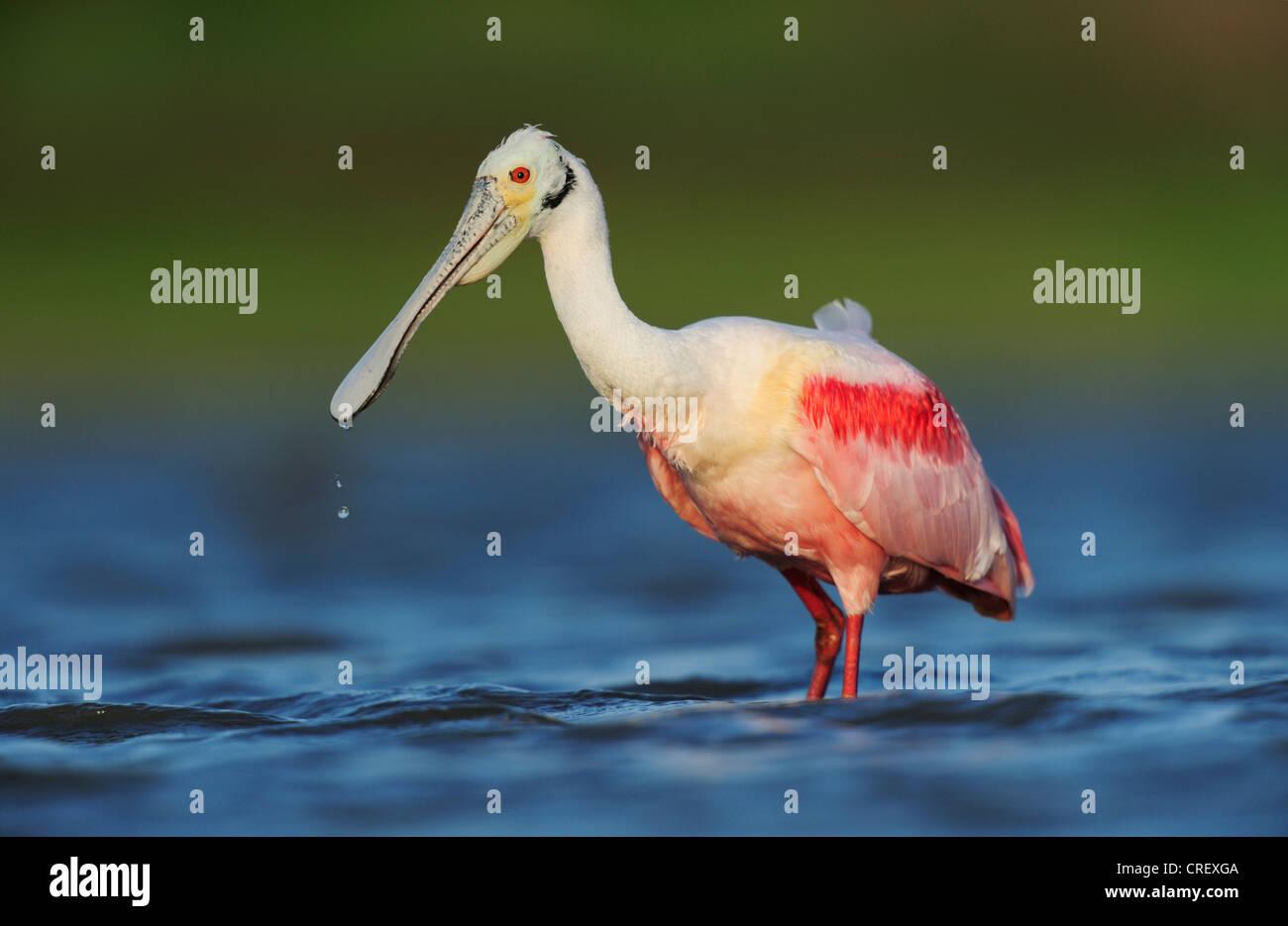 Roseate Spoonbill (Ajaia ajaja), adult feeding, Dinero, Lake Corpus Christi, South Texas, USA - Stock Image