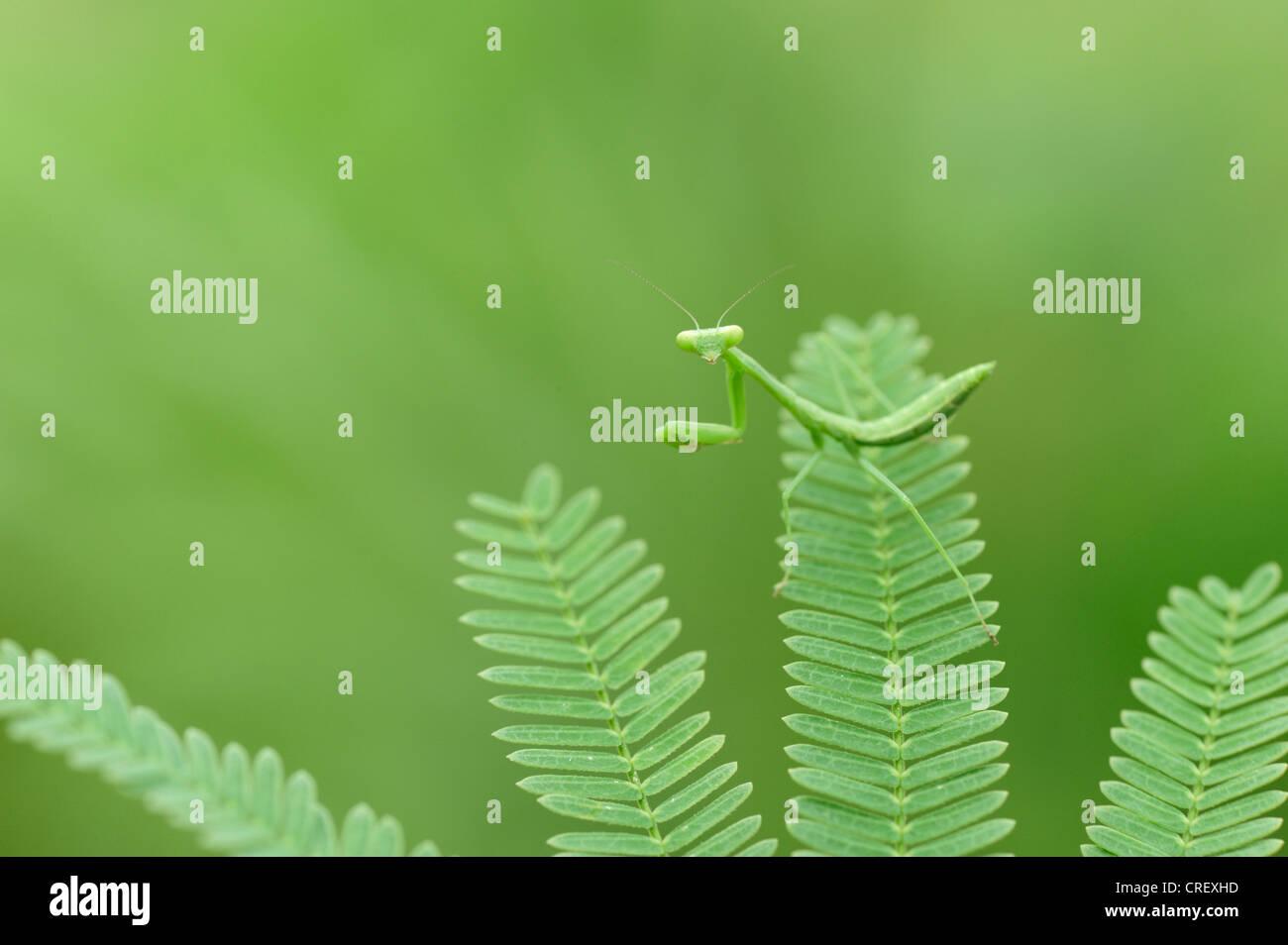 Praying Mantis (Mantis sp.), young camouflaged, Dinero, Lake Corpus Christi, South Texas, USA - Stock Image