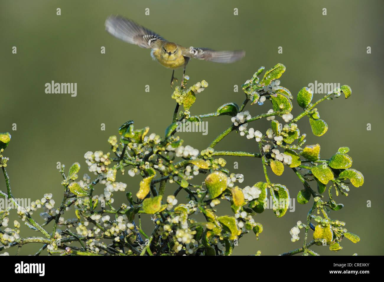 Pine Warbler (Dendroica pinus), female taking off from Christmas mistletoe (Phoradendron tomentosum), Texas Lake - Stock Image
