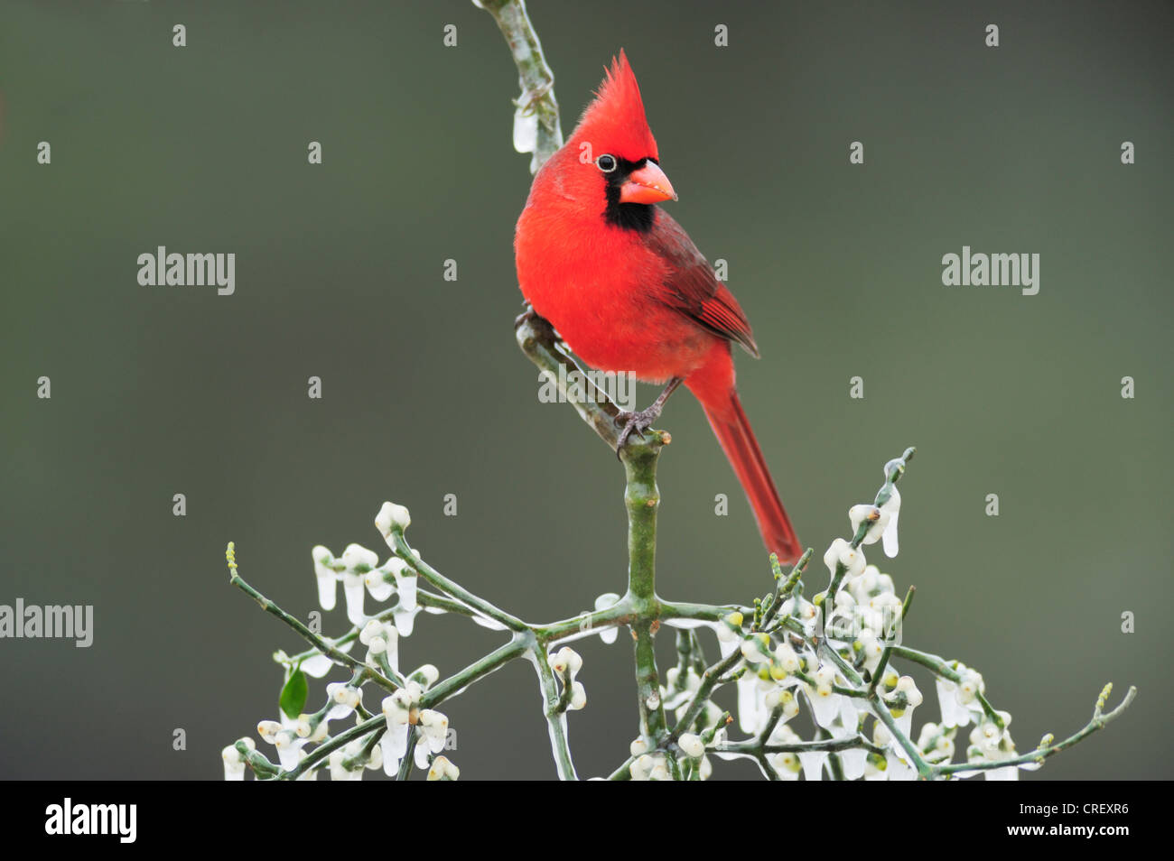 Northern Cardinal (Cardinalis cardinalis), male with eye ring perched on ice covered Christmas mistletoe, Texas - Stock Image
