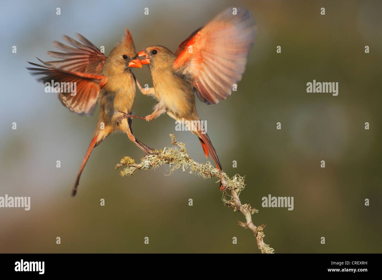 Northern Cardinal (Cardinalis cardinalis), females fighting, Dinero, Lake Corpus Christi, South Texas, USA - Stock Image