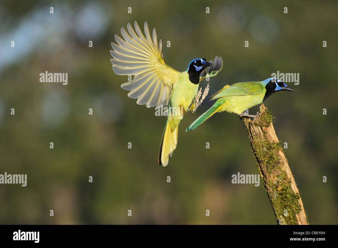 Green Jay (Cyanocorax yncas), pair, Dinero, Lake Corpus Christi, South Texas, USA - Stock Image