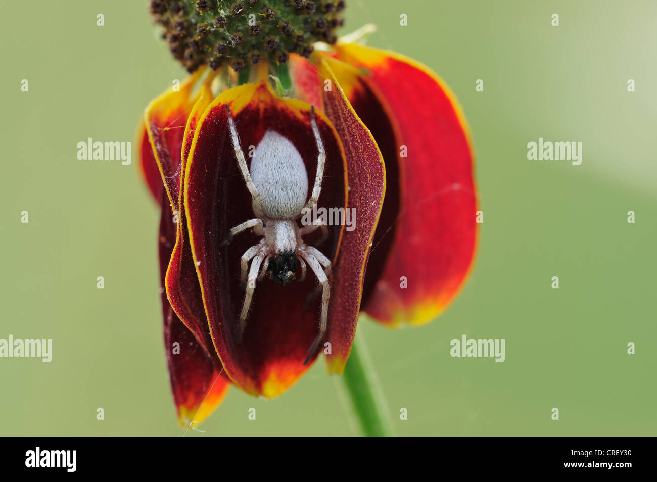Orb-weaver spider (Araneidae), adult with prey perched on Mexican Hat (Ratibida columnaris), Dinero, Lake Corpus - Stock Image
