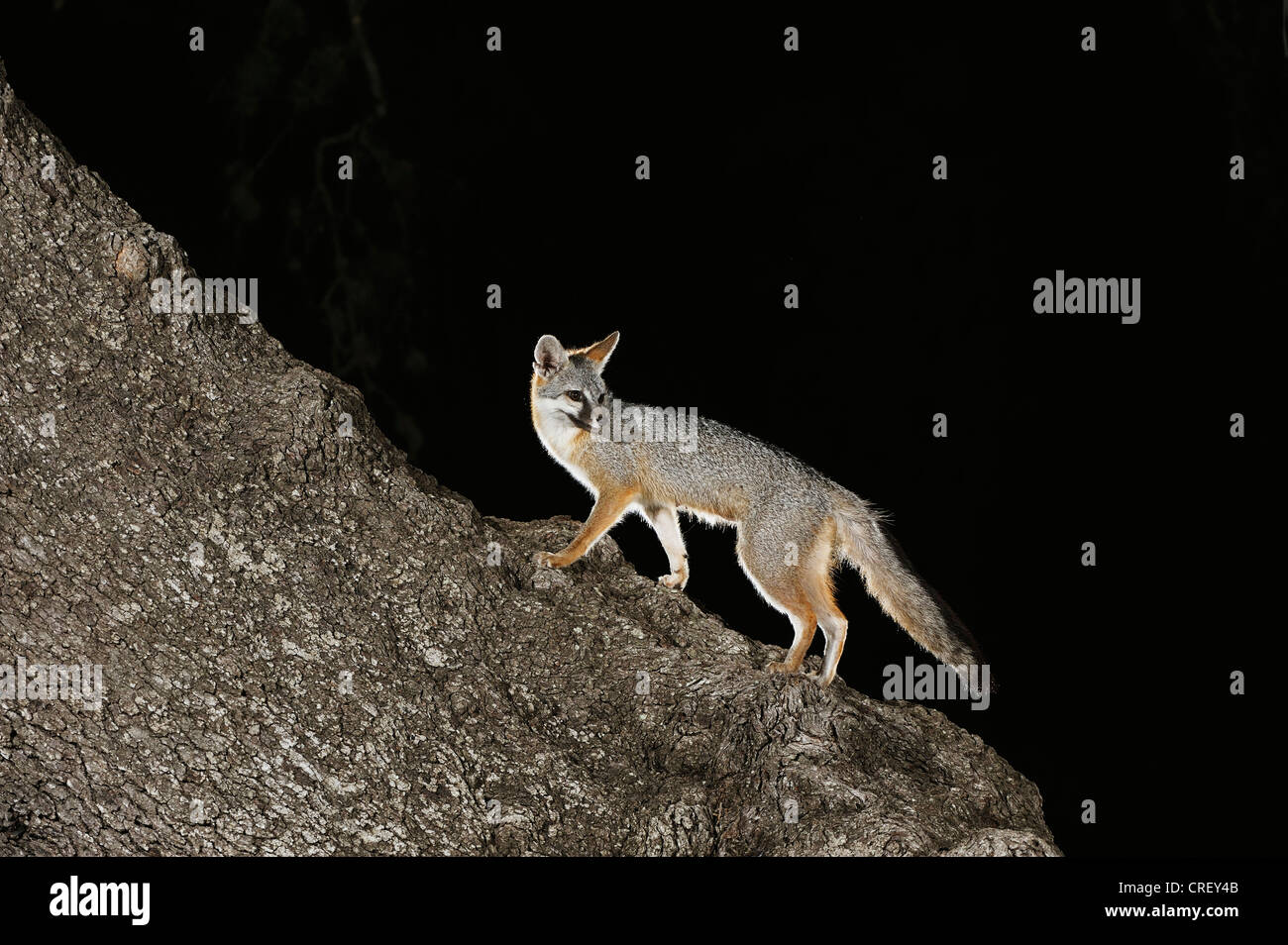 Gray Fox (Urocyon cinereoargenteus), adult at night climbing Live Oak tree (Quercus virginiana), Texas, Lake Corpus - Stock Image