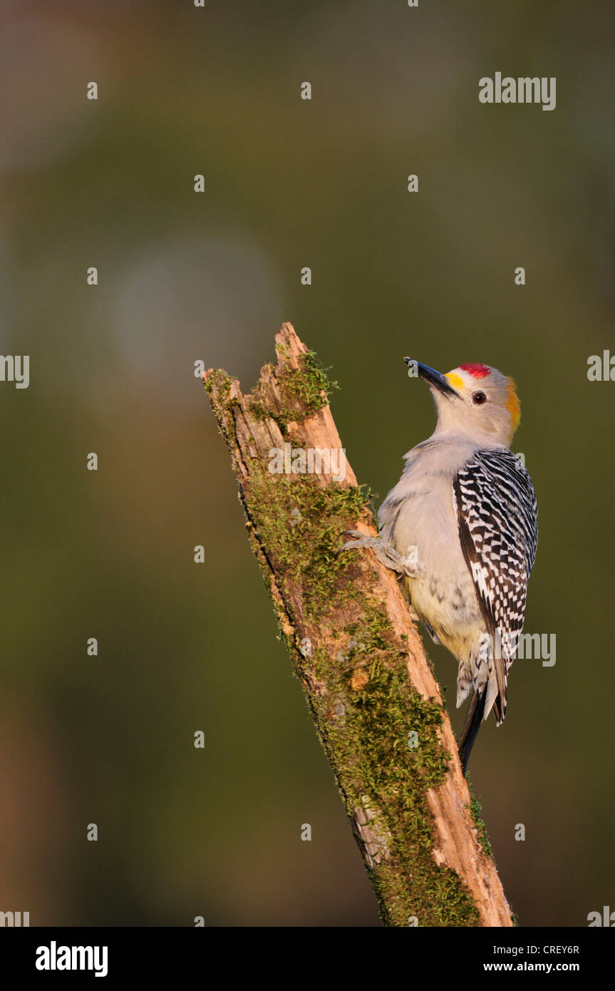 Golden-fronted Woodpecker (Melanerpes aurifrons), male perched, Dinero, Lake Corpus Christi, South Texas, USA Stock Photo