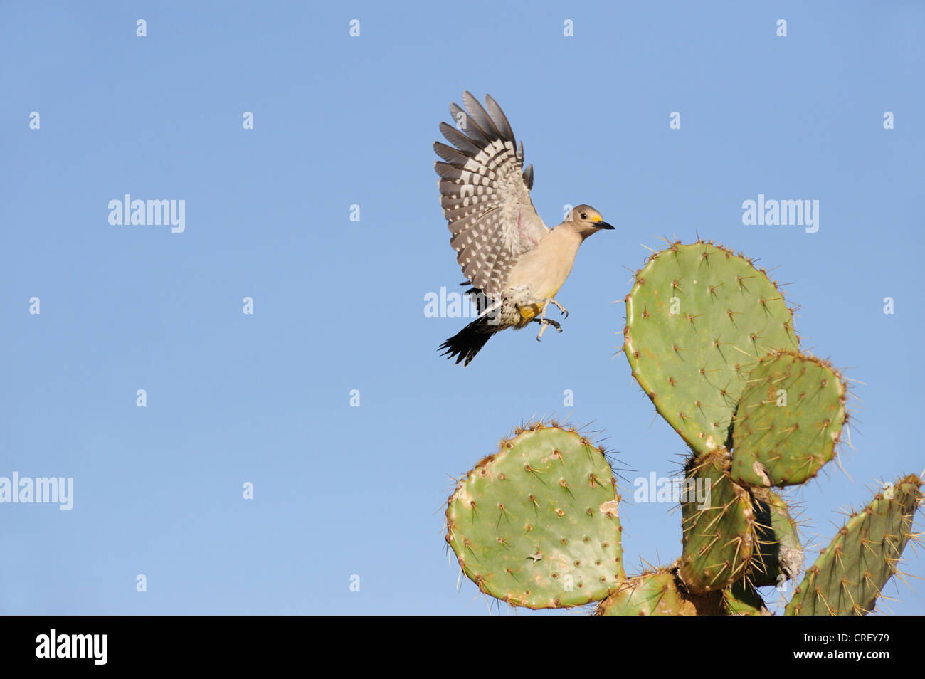 Golden-fronted Woodpecker (Melanerpes aurifrons), female landing on Texas Prickly Pear Cactus (Opuntia lindheimeri), Texas Stock Photo