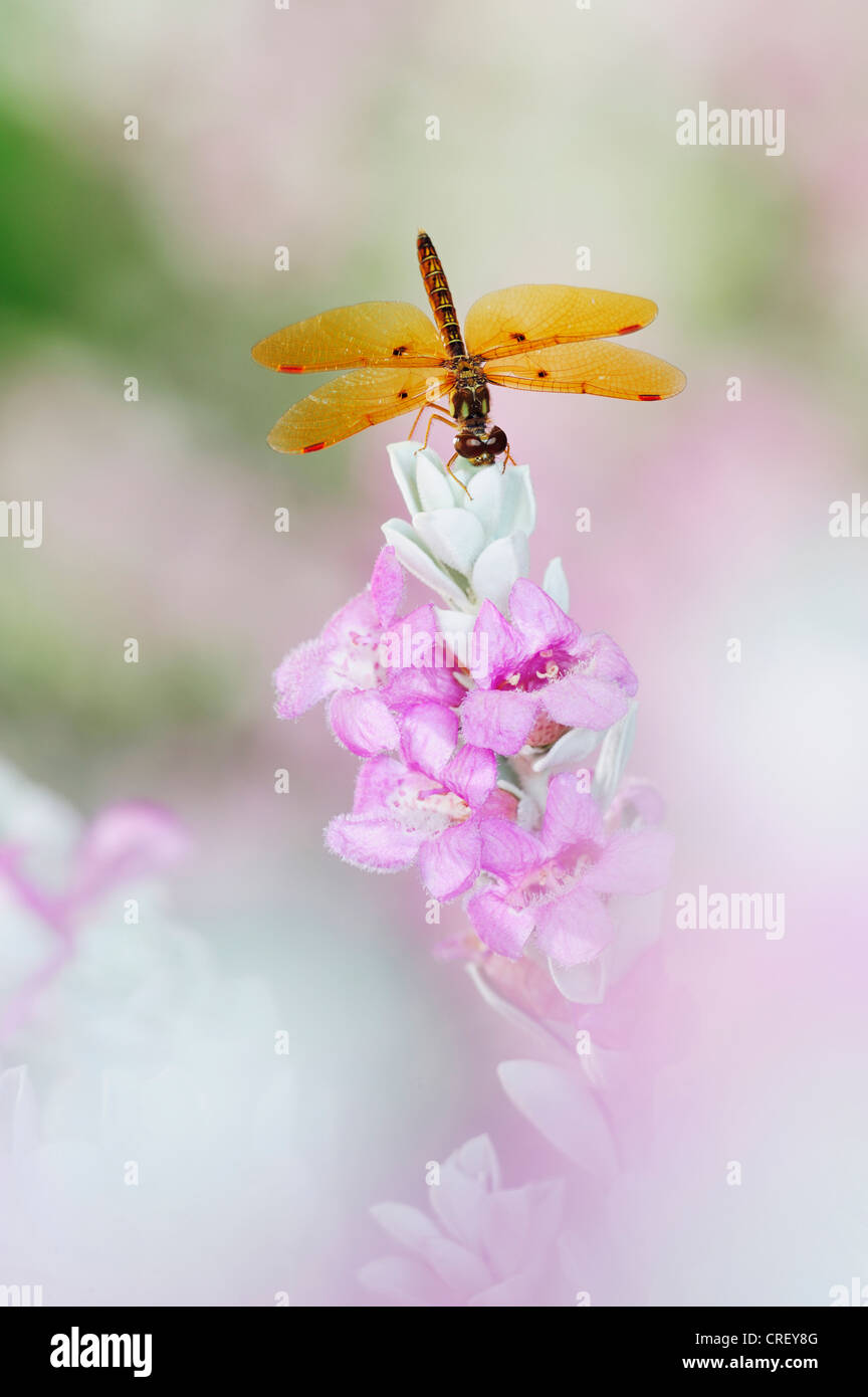 Eastern Amberwing (Perithemis tenera), male perched on Texas Sage (Leucophyllum frutescens), Dinero, Lake Corpus - Stock Image