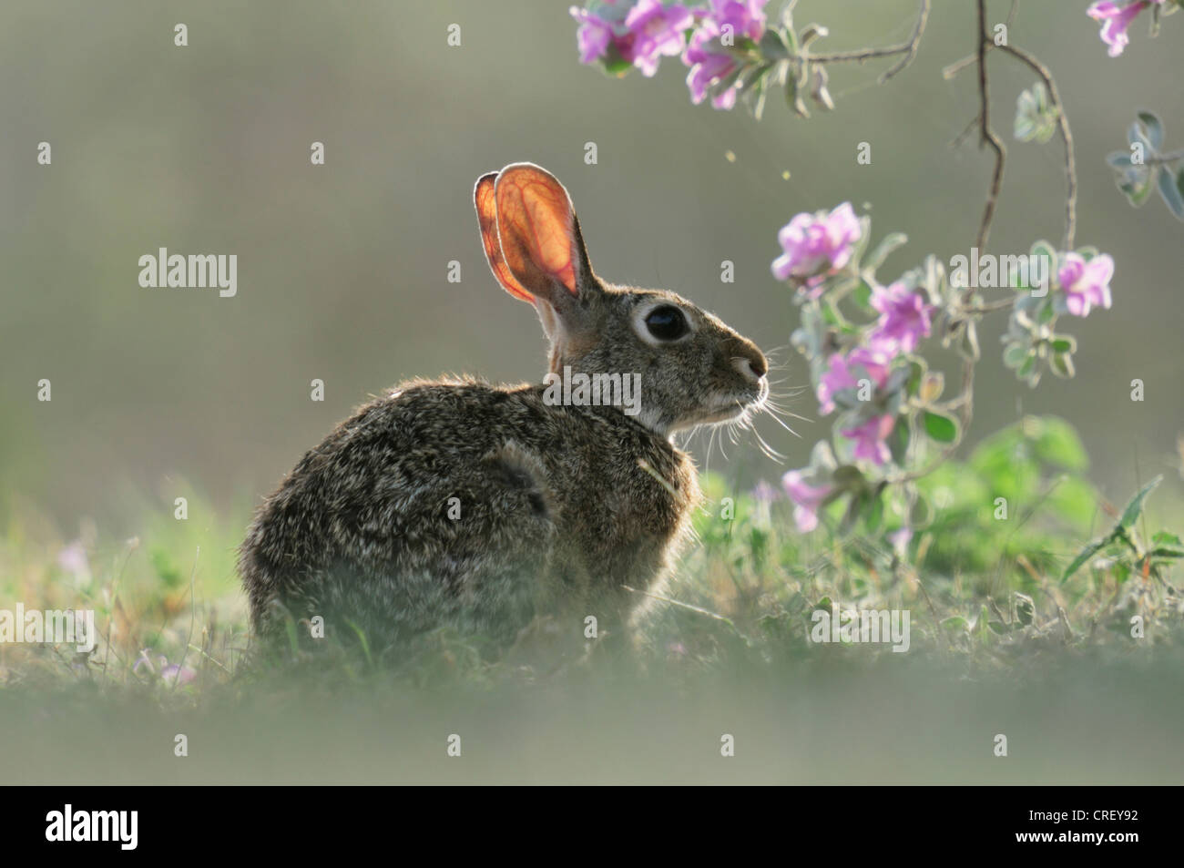 Eastern Cottontail (Sylvilagus floridanus), adult backlit among blooming Texas Sage (Leucophyllum frutescens), Dinero, - Stock Image