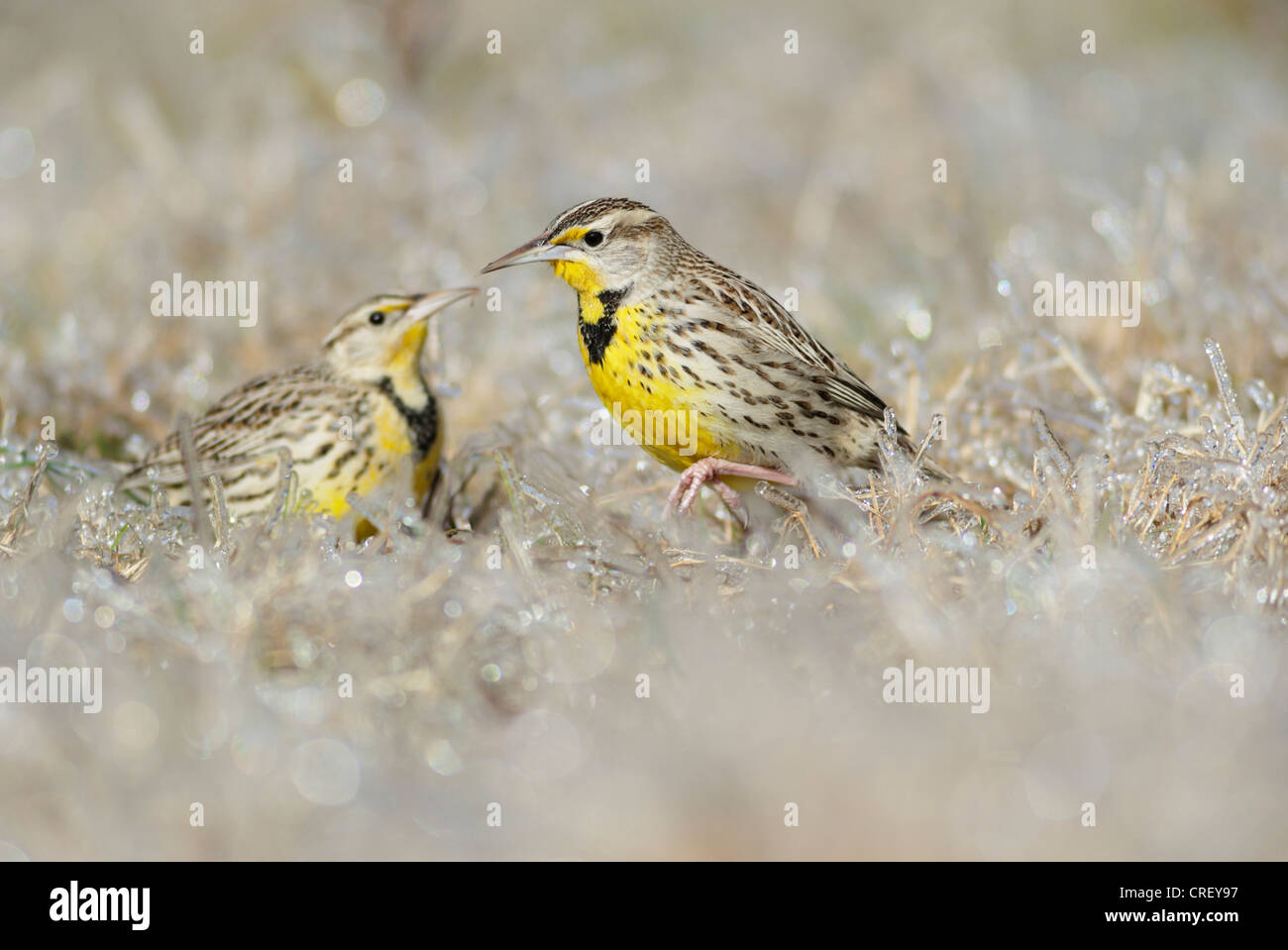 Eastern Meadowlark (Sturnella magna), adults walking on ice covered grass, Dinero, Lake Corpus Christi, South Texas, Stock Photo