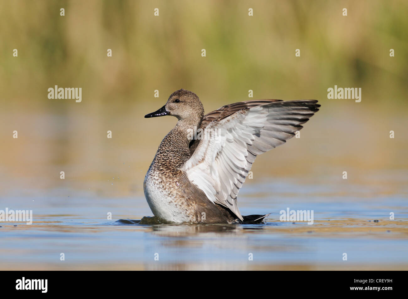 Gadwall (Anas strepera), male flapping wings, Dinero, Lake Corpus Christi, South Texas, USA - Stock Image