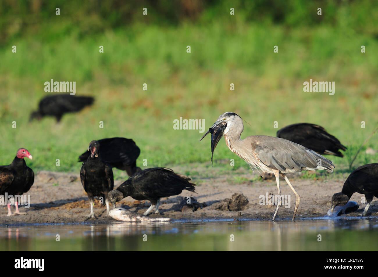 Great Blue Heron (Ardea herodias), adult with fish prey among vultures, Dinero, Lake Corpus Christi, South Texas, - Stock Image