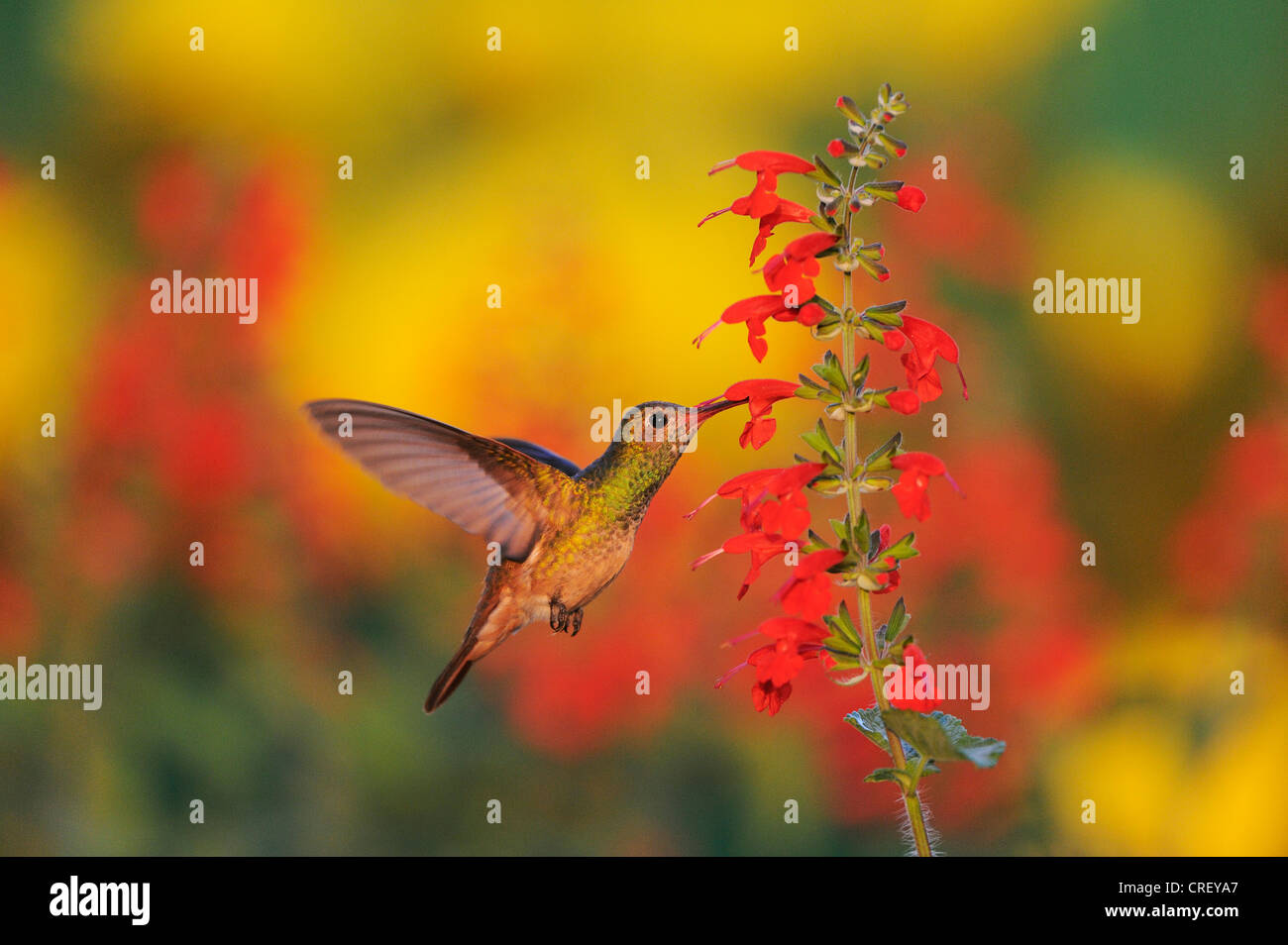 Buff-bellied Hummingbird (Amazilia yucatanenensis), female feeding on Tropical Sage (Salvia coccinea), Texas Lake - Stock Image