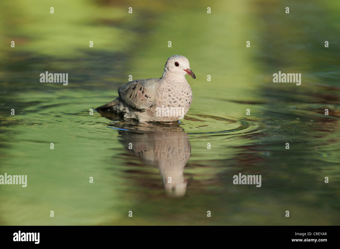 Common Ground-Dove (Columbina passerina), adult bathing, Dinero, Lake Corpus Christi, South Texas, USA Stock Photo