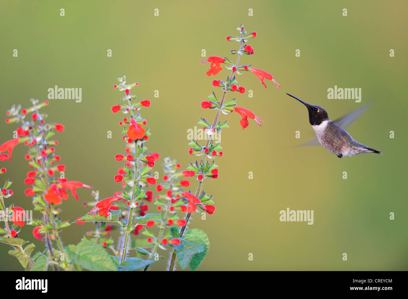Black-chinned Hummingbird (Archilochus alexandri), male feeding on Tropical Sage (Salvia coccinea), Texas, Lake - Stock Image
