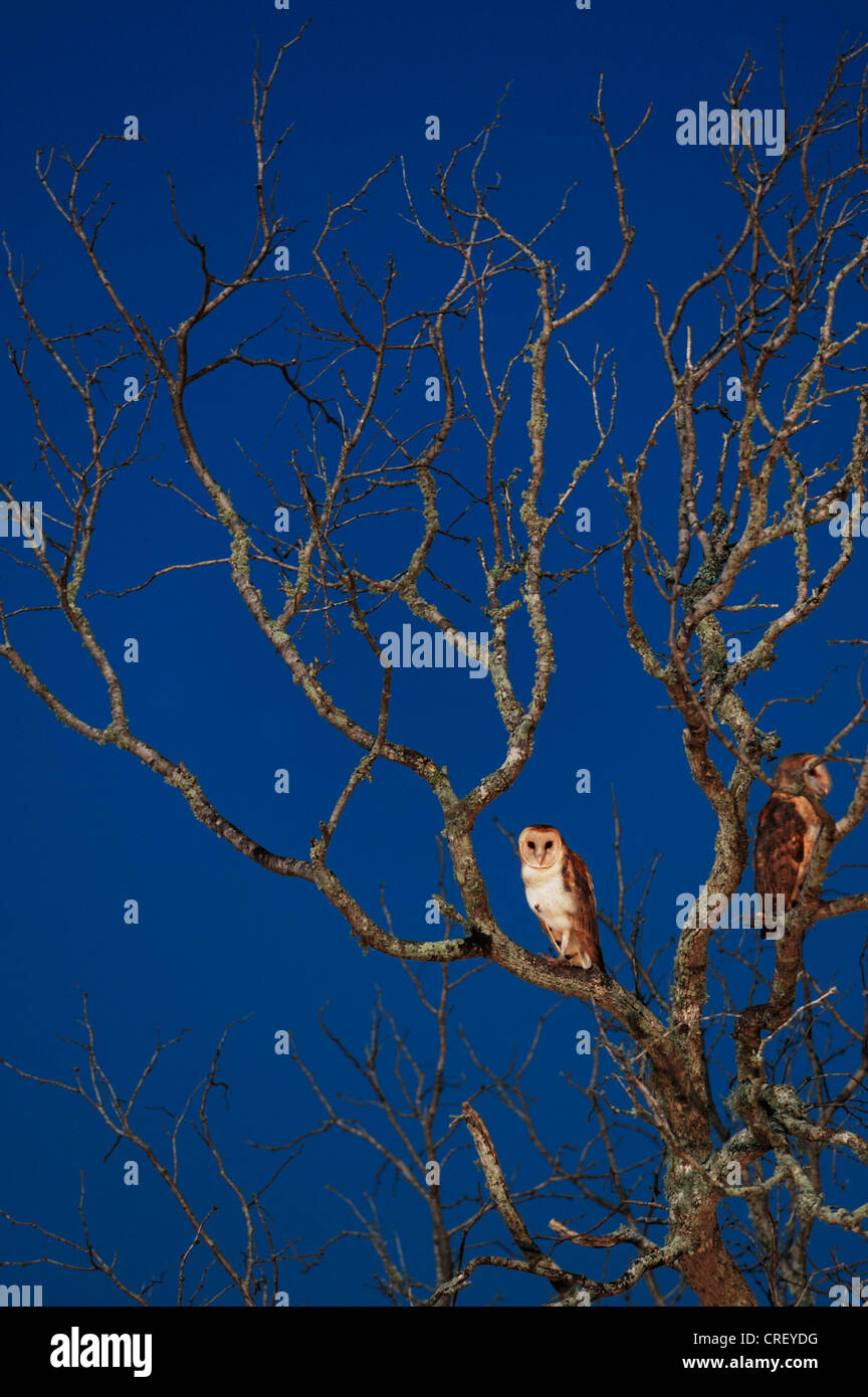 Barn Owl (Tyto alba), adult at night, Dinero, Lake Corpus Christi, South Texas, USA - Stock Image