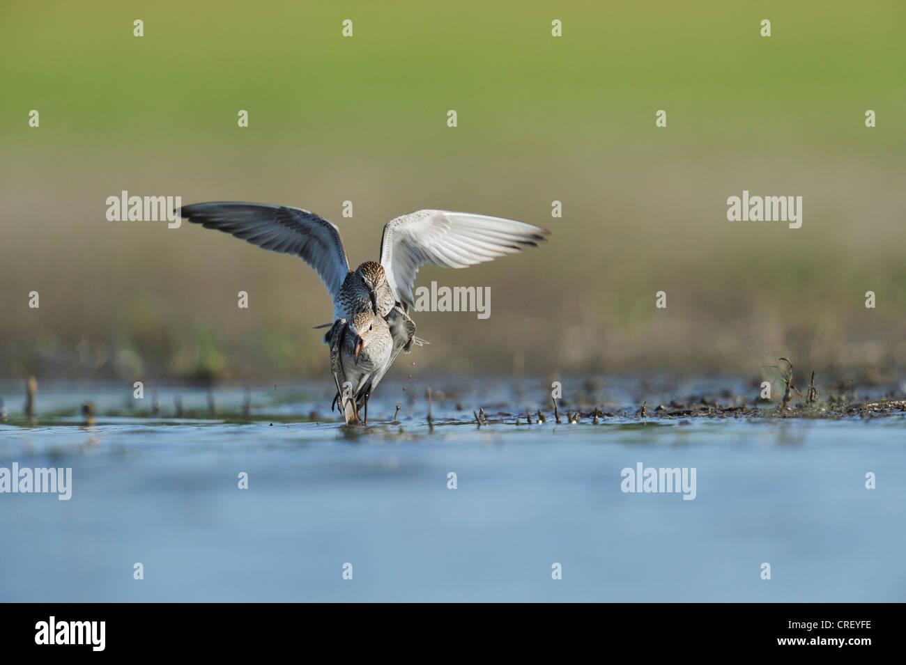 White-rumped Sandpiper (Calidris fuscicollis), adults fighting, Dinero, Lake Corpus Christi, South Texas, USA - Stock Image