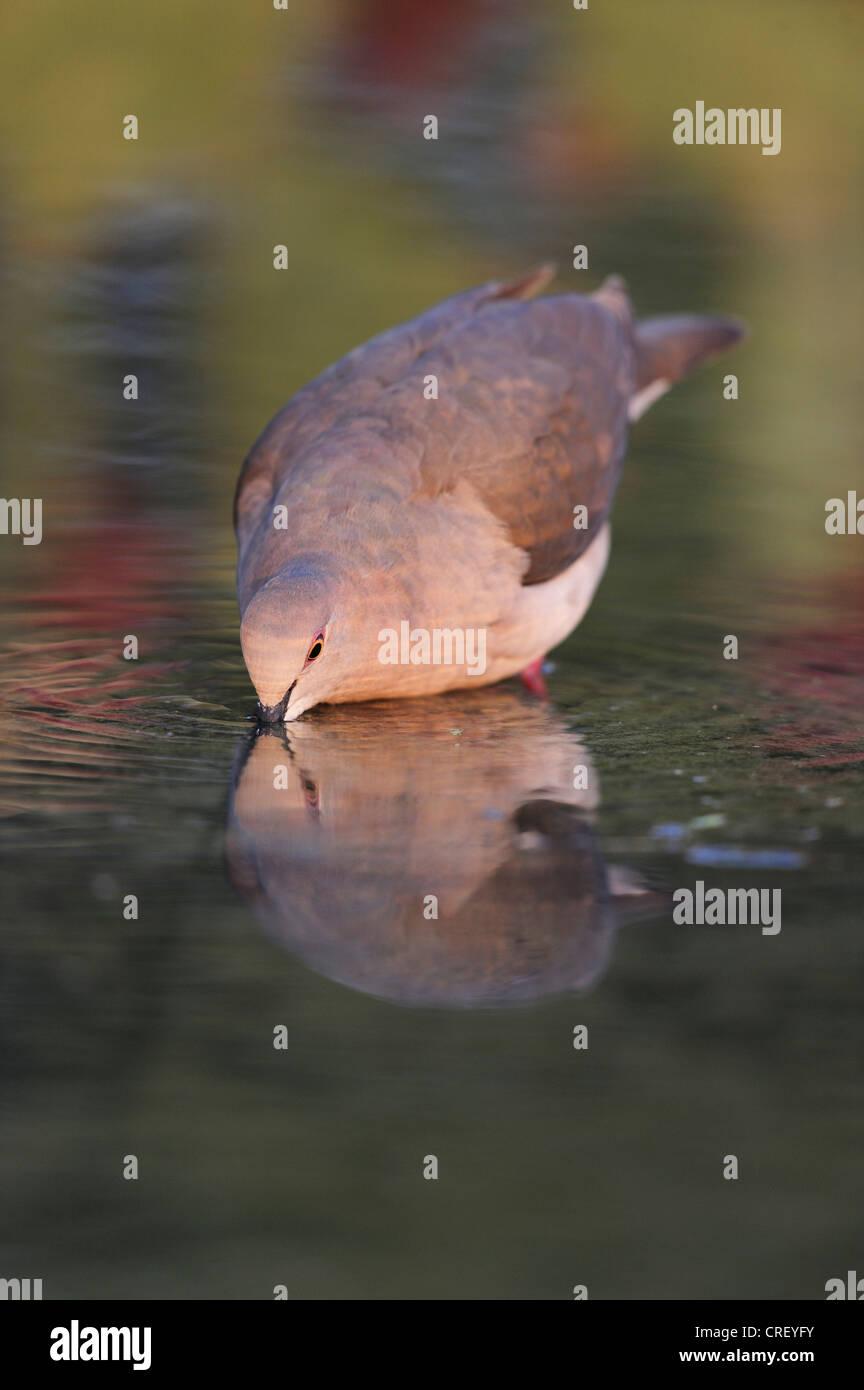 White-tipped Dove (Leptotila verreauxi), adult drinking, Dinero, Lake Corpus Christi, South Texas, USA Stock Photo