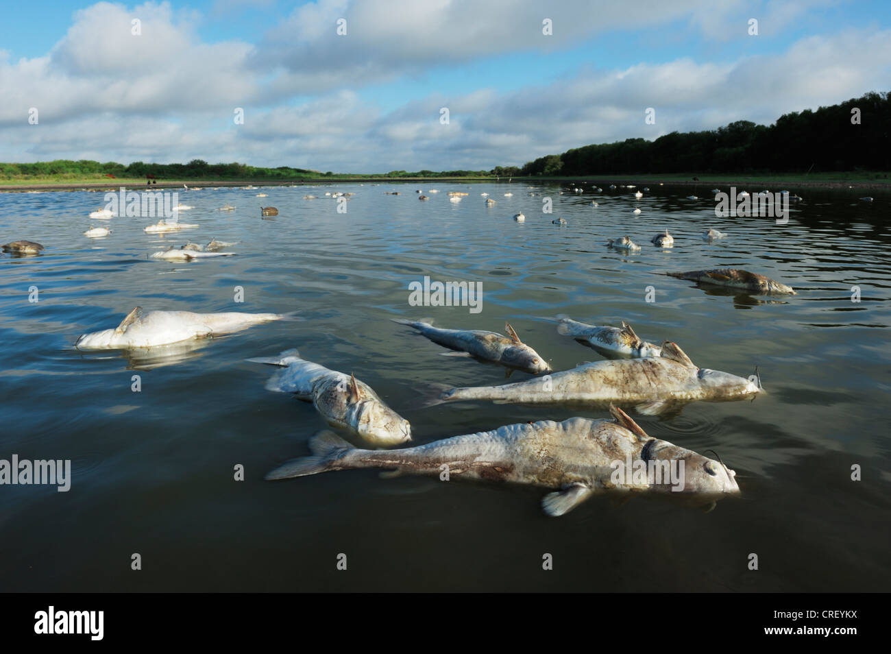 Fish carcasses in lake during drought, Dinero, Lake Corpus Christi, South Texas, USA - Stock Image
