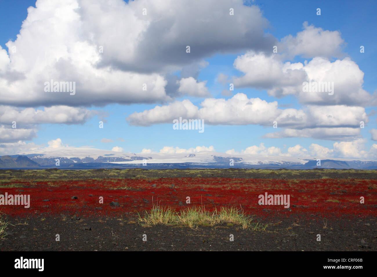 landscape on Iceland with rumex, Iceland Stock Photo