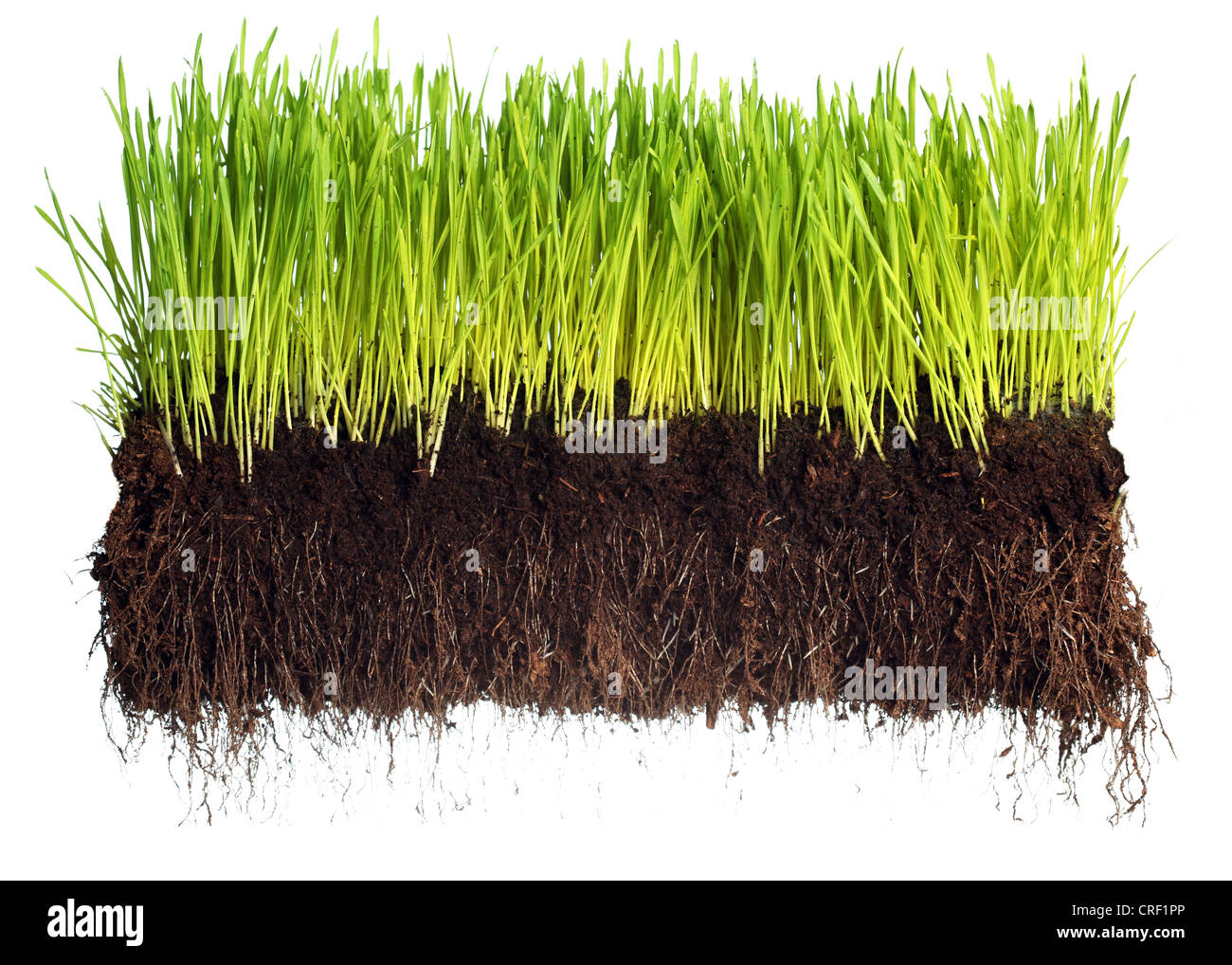 Green grass showing roots - Stock Image