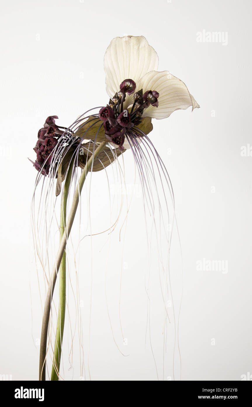 Tacca Integrifolia Or White Bat Flower On White Background Stock