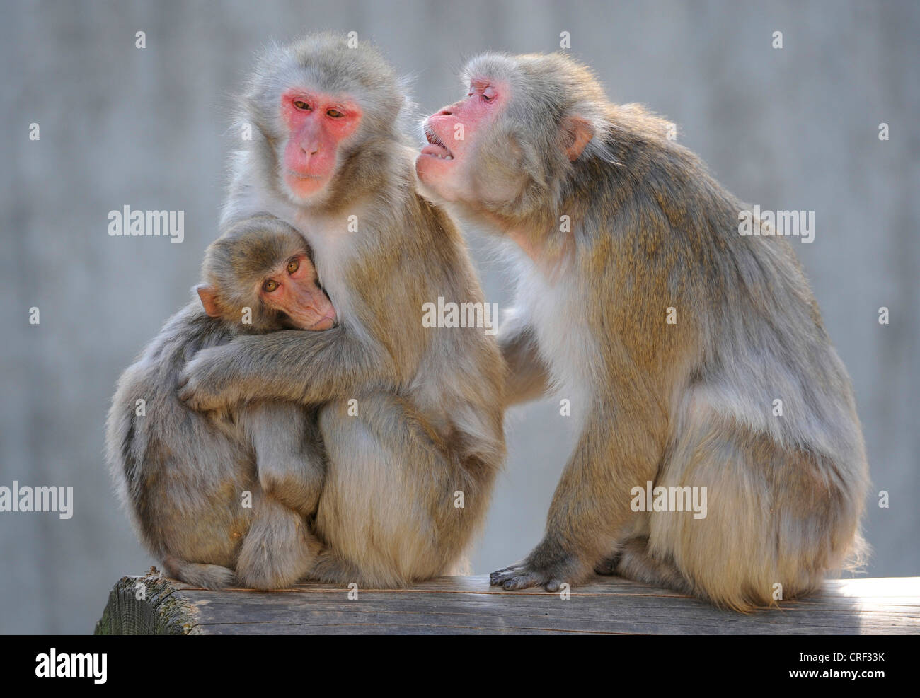 Japanese macaque, snow monkey (Macaca fuscata), three individuals - Stock Image