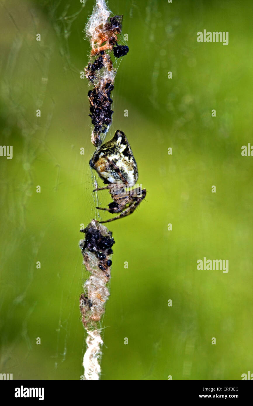 trashline orbweaver (Cyclosa conica), spider in mid of the web between camouflage particles - Stock Image