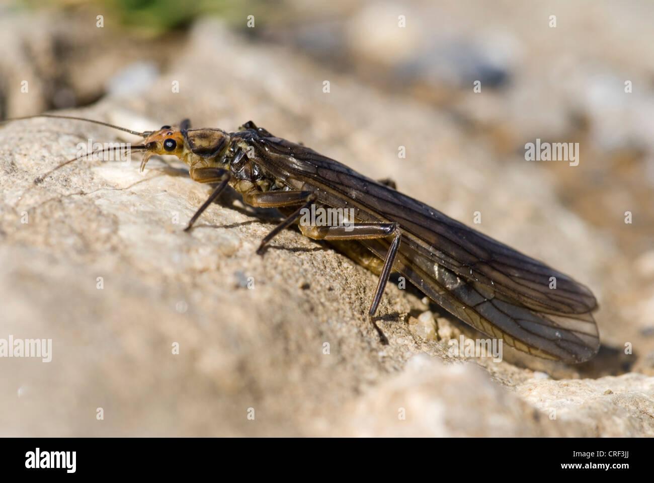 stoneflies (Plecoptera), sitting on a stone - Stock Image