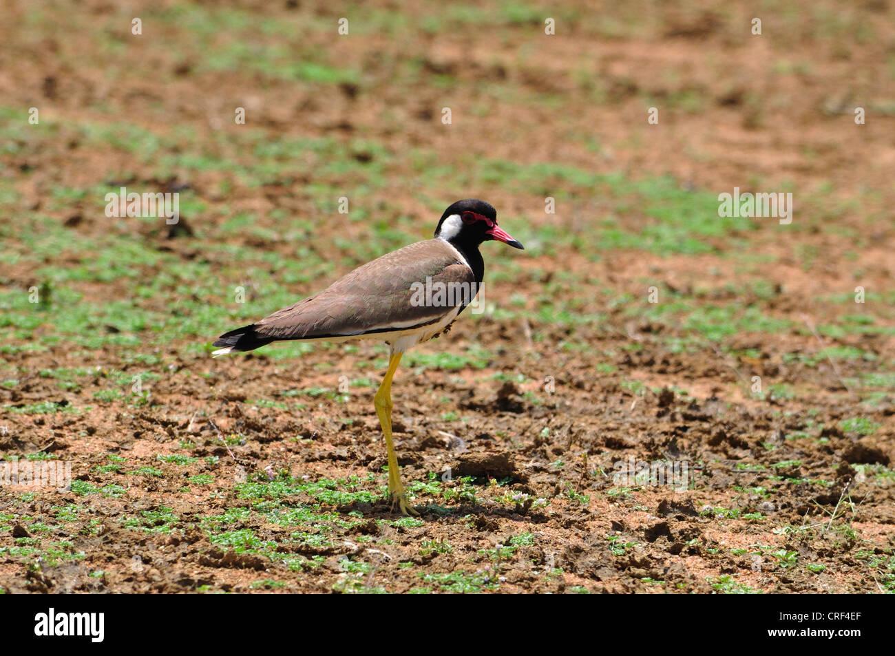 Indian Redwattled Lapwing - Stock Image