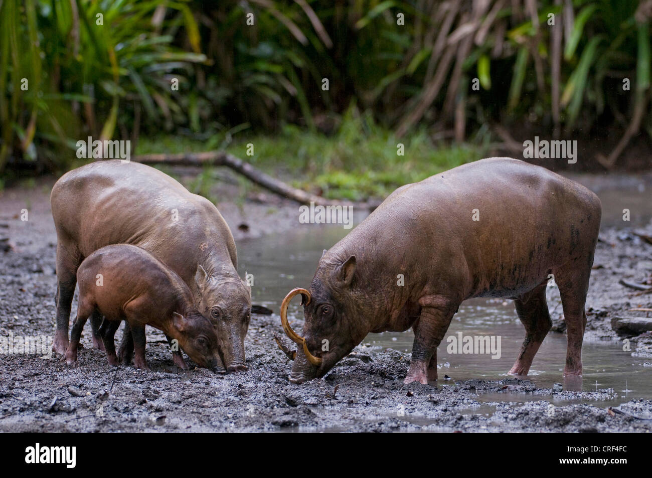 babirusa (Babyrousa babyrussa celebensis, Babyrousa celebensis), family on the feed, Indonesia, Sulawesi - Stock Image