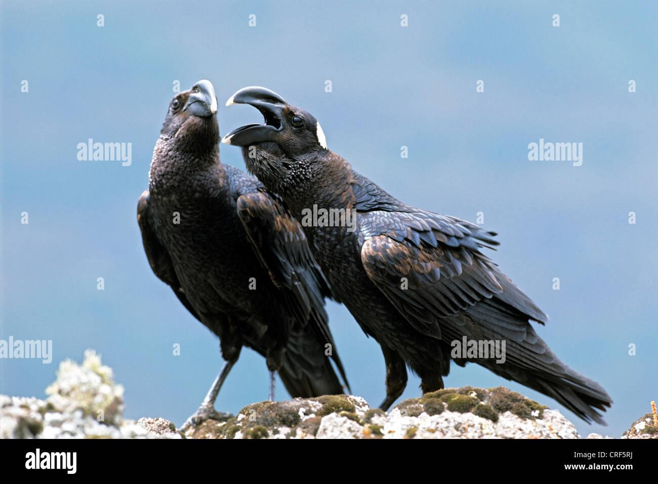 thick-billed raven (Corvus crassirostris), quarreling couple, Ethiopia, Simien Mountains National Park - Stock Image