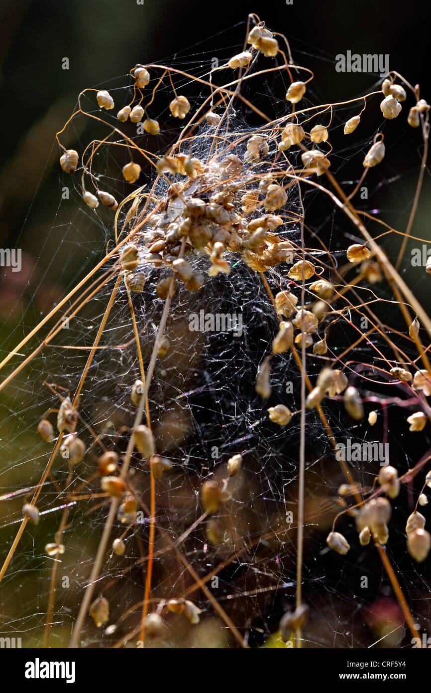 comb-footed spider (Theridion impressum), cob web with hiding place - Stock Image