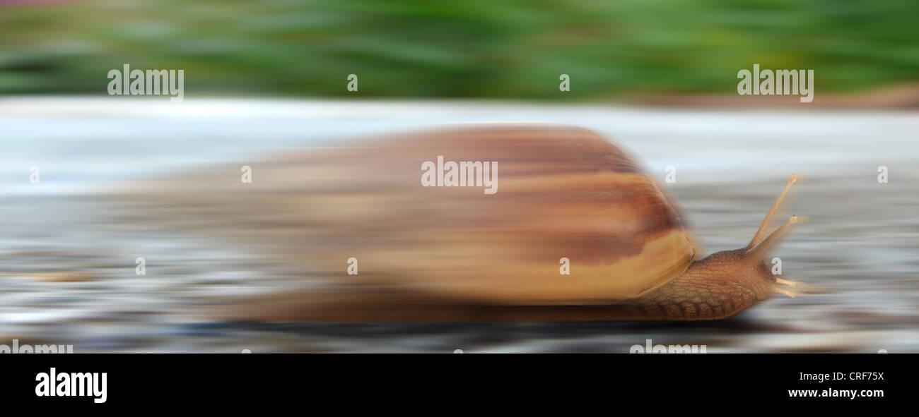 racing snail Stock Photo