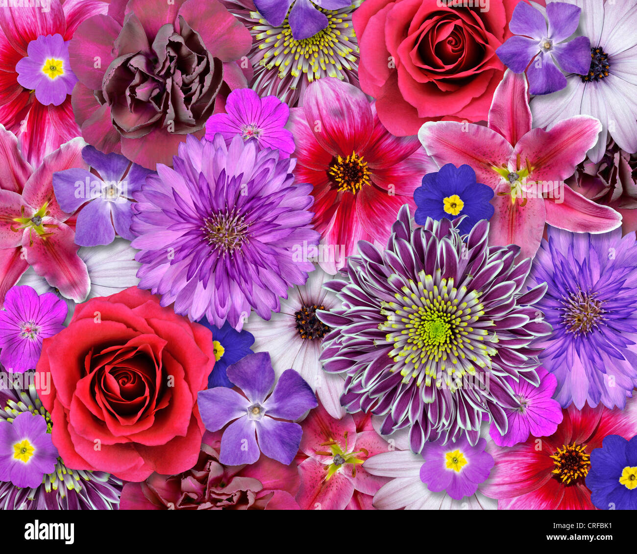 Flower Collection Pink Purple Blue Red White Set Dahlia
