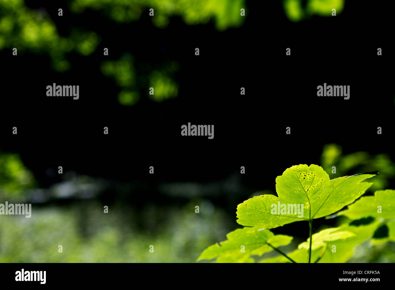 green leaves in foreground with blurry, dark background - Stock Image
