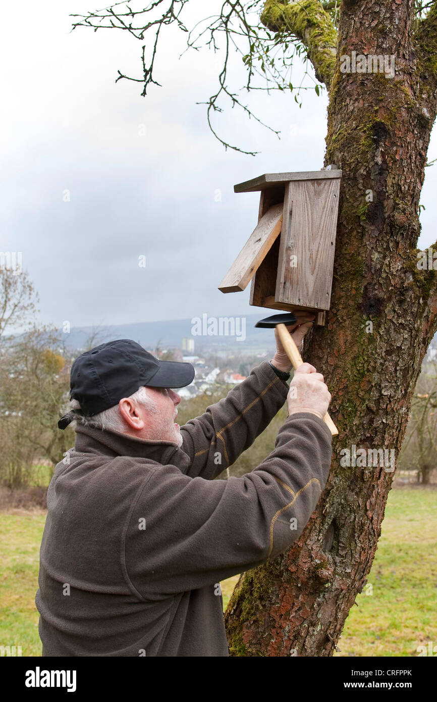 old man fitting nest box at fruit tree trunk, Germany - Stock Image